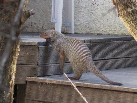 Kapama Karula : The local mongoose