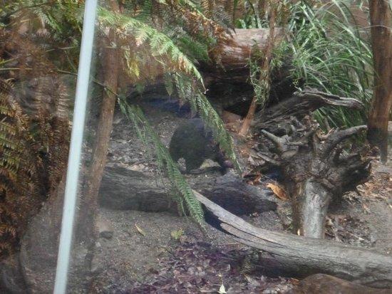 Wild Life Sydney Zoo : Tasmanian Devil