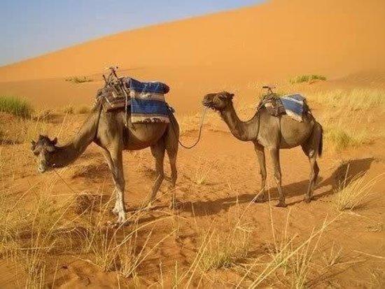Sahara Desert Trips & Morocco Travels: Camels