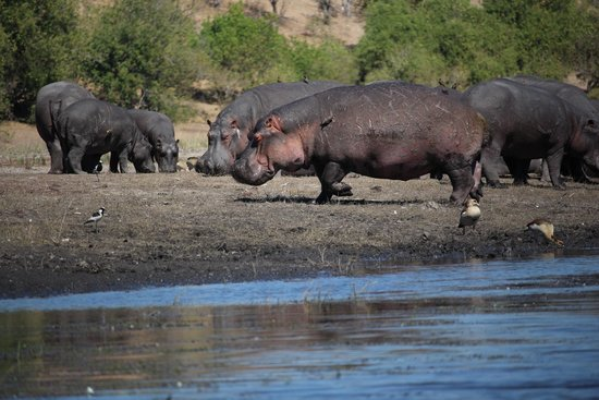 Ngoma Safari Lodge: Hungry hippos