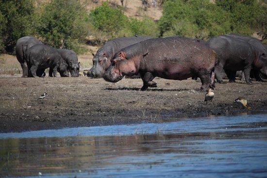 Ngoma Safari Lodge : Hungry hippos