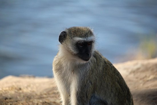 Ngoma Safari Lodge: Pesky monkey