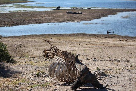 Ngoma Safari Lodge: Cape Buffalo carcass