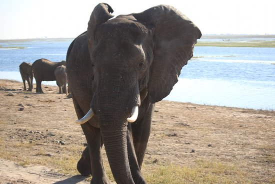 Ngoma Safari Lodge: Angry elephant