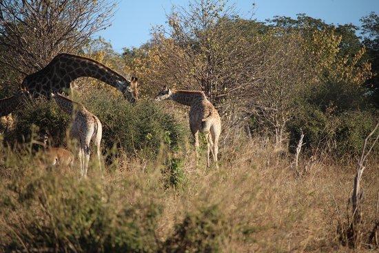 Ngoma Safari Lodge: Family of giraffes