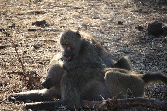 Ngoma Safari Lodge: Baboons grooming