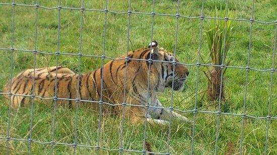 Woodside Wildlife Park: a rescued tiger looking beautiful