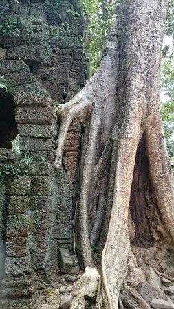 Angkor Wat: árvores gigantes