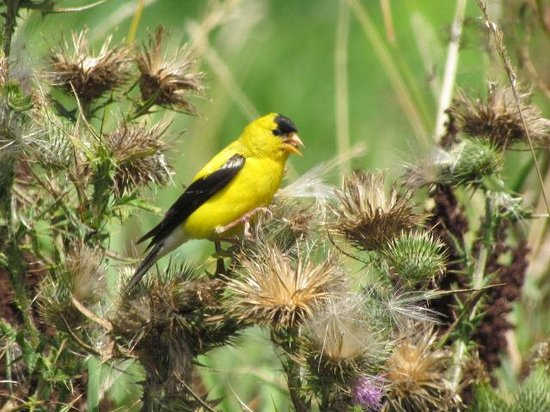 Montezuma National Wildlife Refuge : American Goldfinch