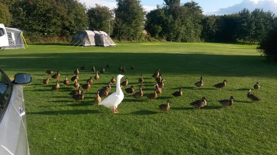 Townsend Touring Park: mr goose and his ducks