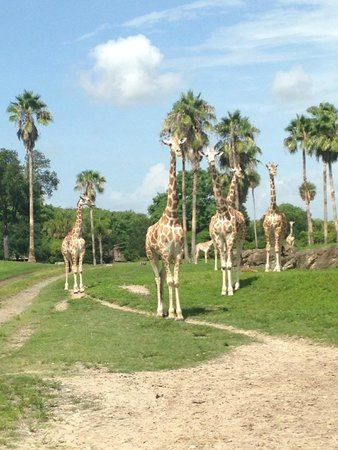 Busch Gardens : View from train of the Serengeti Plain
