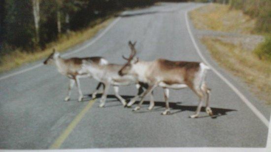 Lapland Safaris - Rovaniemi: reindeers everywhere ....