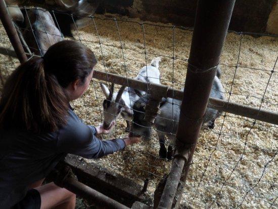 Hill Farm Inn: Feeding the goats!