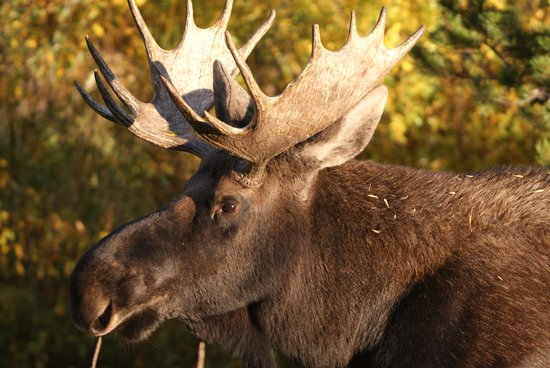 Pahaska Teepee Resort : Moose In The Compound