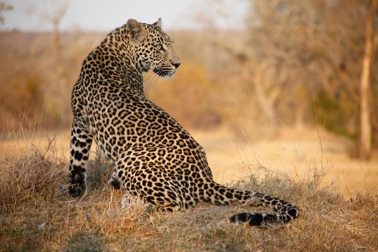 Arathusa Safari Lodge : Game Drive - Leopard