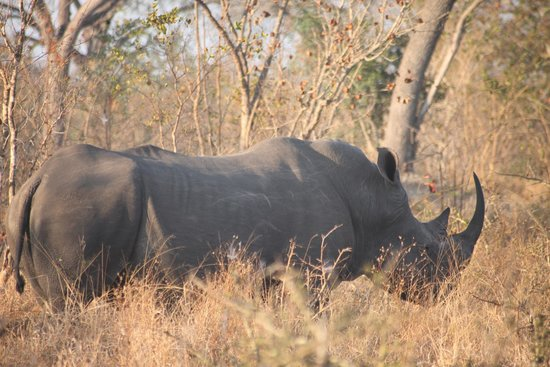 Arathusa Safari Lodge : Game Drive - Rhino