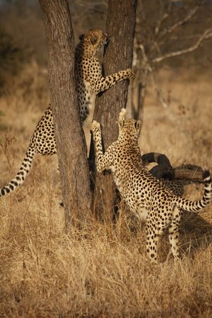 Arathusa Safari Lodge : Game Drive - Cheetahs