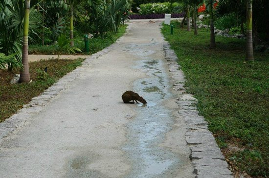 Occidental at Xcaret Destination: little critter getting a drink on the path to the beach
