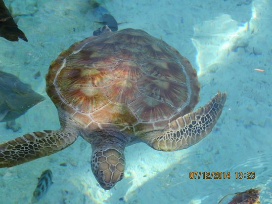 Le Meridien Bora Bora: Sea turtle rehab center at the hotel