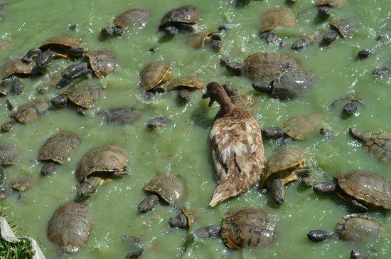 Kliebert's Turtle & Alligator Farm: Feeding the turtles