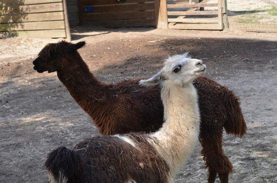 Kliebert's Turtle & Alligator Farm: Alpacas being cute