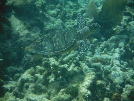Keys Diver Snorkel & Scuba: Turtles!