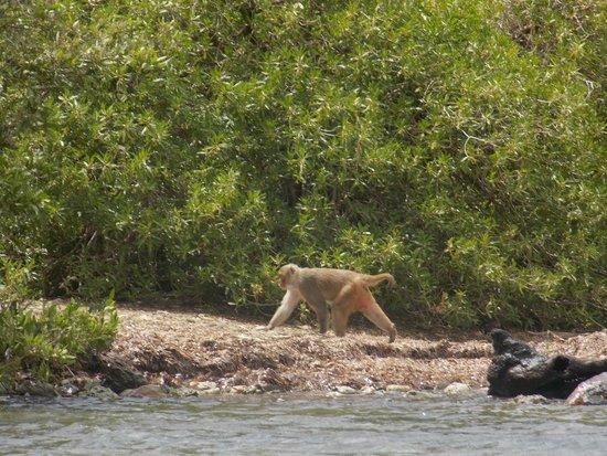 Barefoot Travelers Kayak Tour to Monkey Island : a monkey along the shoreline