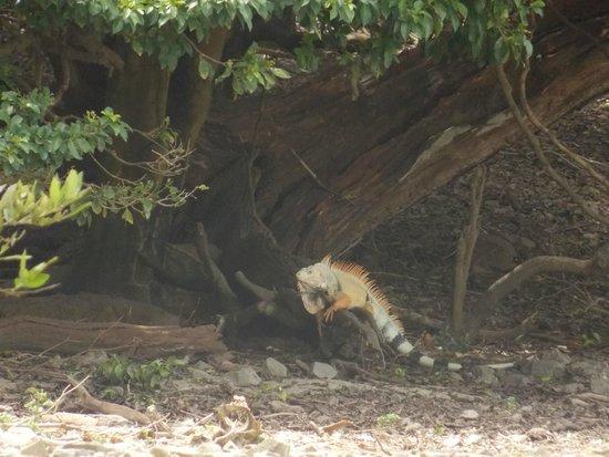 Barefoot Travelers Kayak Tour to Monkey Island : iguana sunbathing