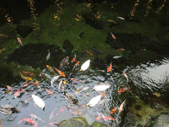 Tenseien: 庭池の鯉とアヒル