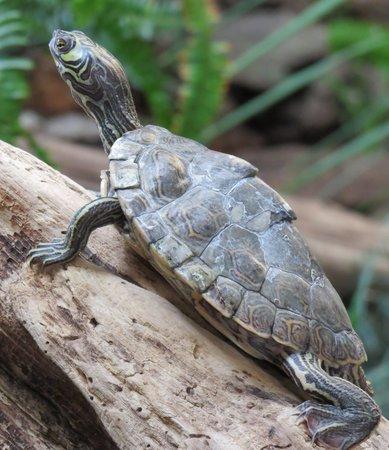 National Mississippi River Museum & Aquarium: Turtle
