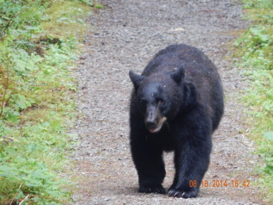 Island Wings Air Service : Bear walking down the path to the river.