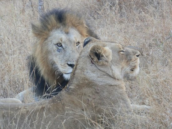 Inyati Game Lodge : Up close and personal on a game drive! Beautiful!