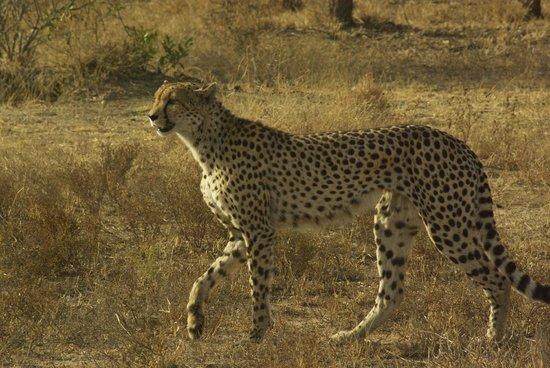 Kings Camp : Cheetah