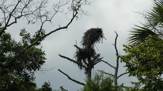 Capt. Gill's River Cruises: a double osprey nest!