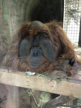 Woodland Park Zoo : Resting Orangutan