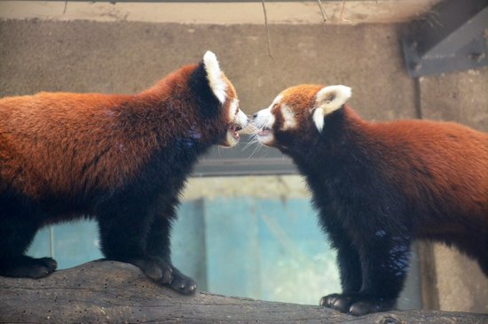 Beijing Zoo: Red panda's