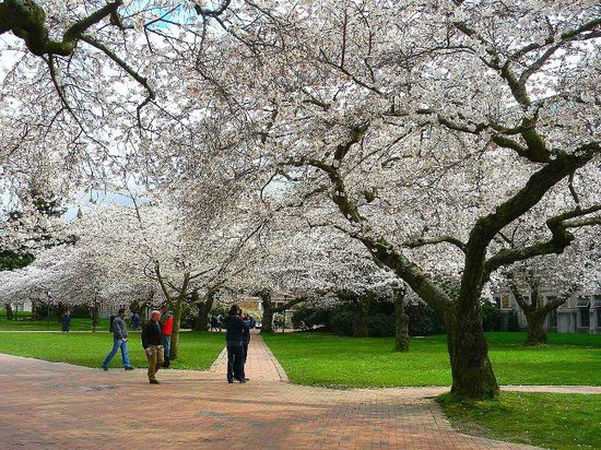 University of Washington: the school quad in march