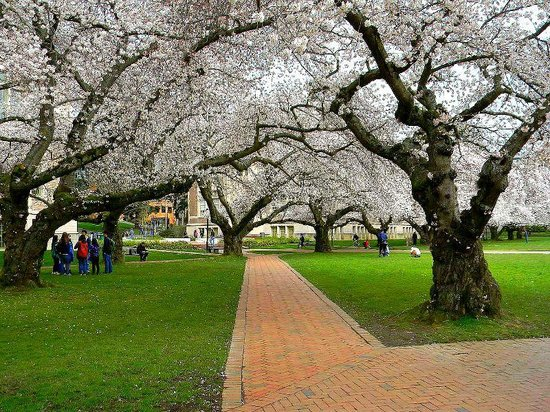 University of Washington: The cherry blossom trees during spring