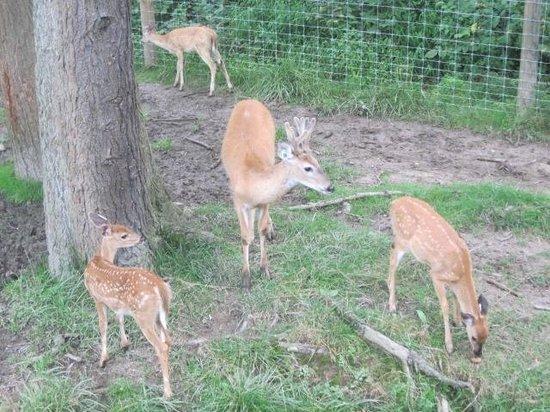 Penn's Cave : Deer