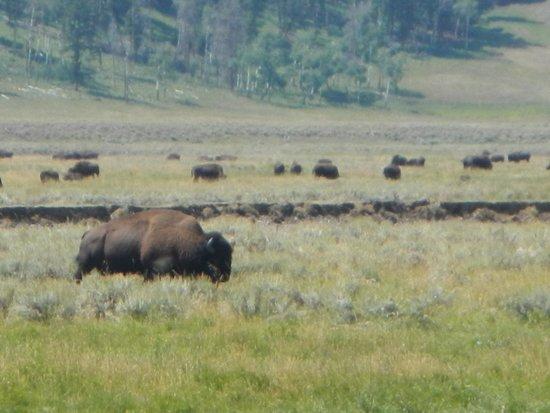 BrushBuck Wildlife Tours: Bison Lamar Valley