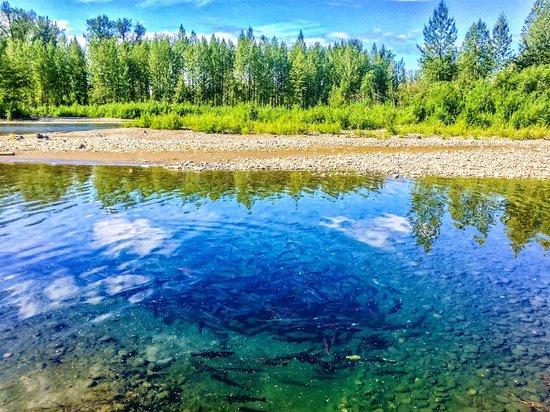 Alaska Fishing Lodge - Wilderness Place Lodge: Schooling chum and silver salmon