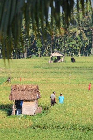 Green Field Hotel and Bungalows : rice field view from room