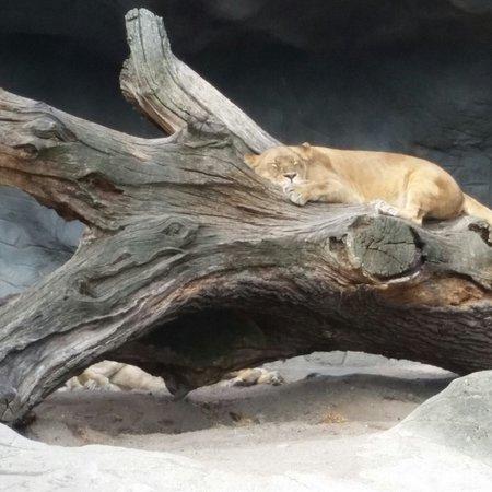 Tierpark Hagenbeck: Lioness