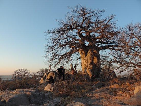 Sonnenuntergang an einem Baobab auf Kubu Island