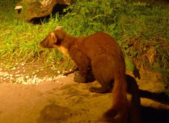 Speyside Wildlife: Pine Marten from the hide