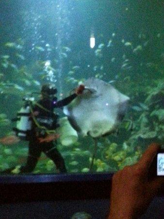 Blue Planet Aquarium : Ray feeding in the amphitheatre