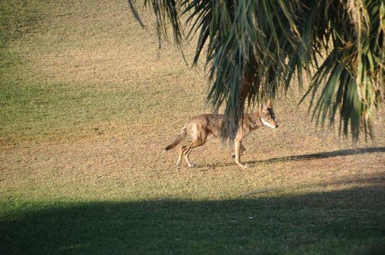 The Oasis at Death Valley (formerly Furnace Creek Resort): Koyote auf dem Golfplatz am Morgen (ohne Schläger)
