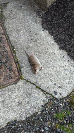 White Hart Hotel: Rat