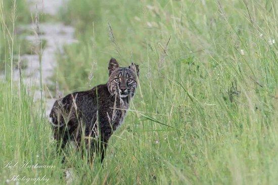 Black Point Wildlife Drive: Bobcat at Wildlife Drive  (C) 2014 Bob Hartmann