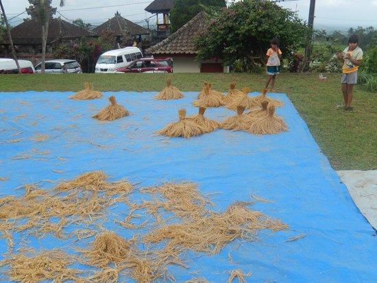 Jatiluwih Green Land : riz